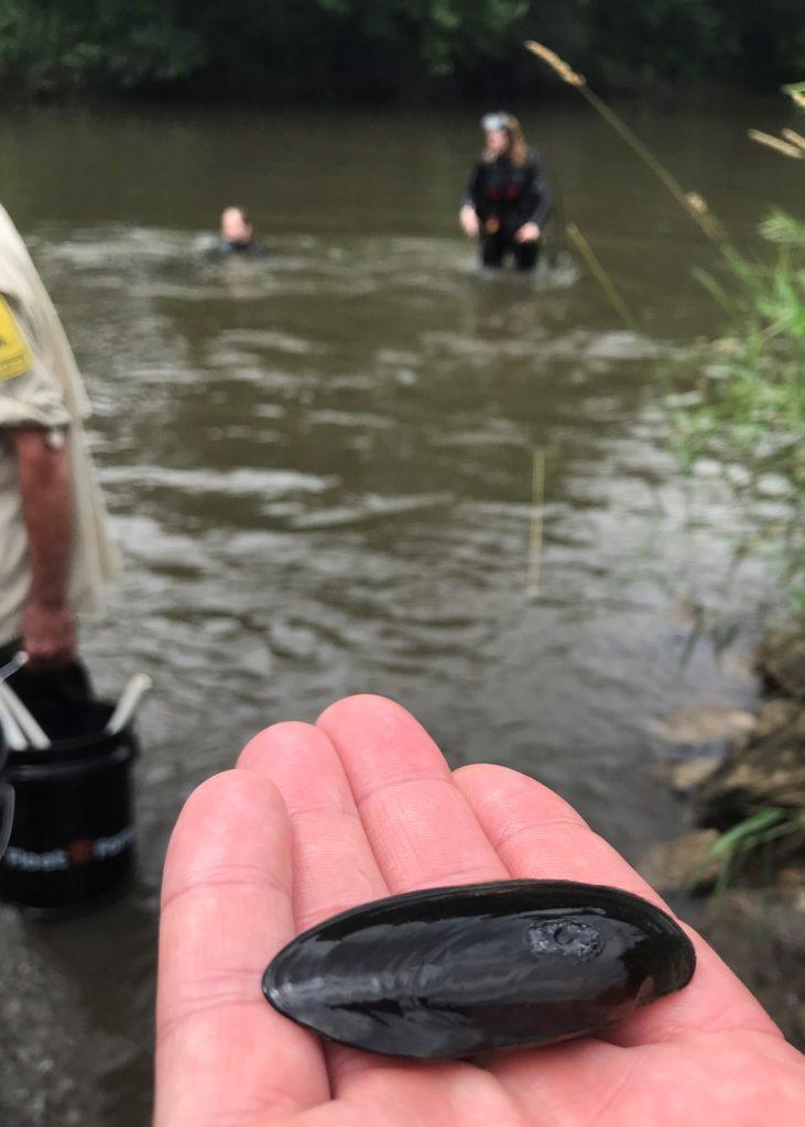 One of nearly 1,500 black sandshell mussels reintroduced July 18, 2019, by the Minnesota Department of Natural Resources in the Cedar River State Water Trail in Austin, Austin Township and Lyle Township.